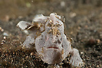 Grey painted frogfish (Antennarius pictus) on a sponge.