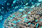 Maamendhoo Giri, Maamendhoo Island, Laamu Atoll, Maldives; an aggregation of Blue-green Chromis (Chromis viridis) and Humbug Dascyllus fish swimming over branching hard corals (Acropora sp.)