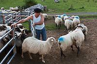 Europe/France/Aquitaine/64/Pyrénées-Atlantiques/Pays-Basque/Aussurucq: Aprés la traite au cayolar ean-Paul Erdozainy Etchart , berger, relache son troupeau de brebis en estive dans les paturages d'Ahusquy [Autorisation : 2011-1297] [Autorisation : 2011-128]