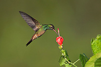 Buff-bellied Hummingbird (Amazilia yucatanenensis), male feeding on Turk's cap, Sinton, Corpus Christi, Coastal Bend, Texas, USA