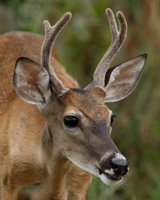 Young whitetail buck.