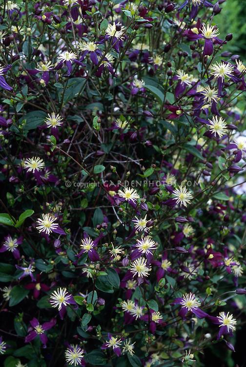Clematis x aromatica, scrambling non clinging vine, fragrant, Old Man's Beard, cross of C. flammula and C. integrifolia