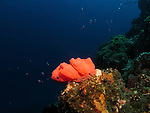 Qixingyan ('Seven Star Rock'), Taiwan -- A red nudibranch egg ribbon resembling a rose.<br /> <br /> Nudibranchs lay their eggs in every size, color and shape imaginable. <br /> Often, the ribbon of eggs takes the shape of coils or spirals, laid counterclockwise.