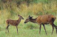 Rothirsch, Rot-Hirsch, Rotwild, Edelwild, Edelhirsch, Hirsch, Weibchen, Kuh, Hirschkuh, Muttertier mit Kalb, Jungtier, Cervus elaphus, red deer