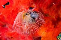 tube worm, Protula tubularia, Vis island, Croatia, Adriatic Sea, Mediterranean