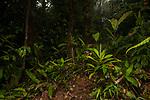 Bronzy Hermit (Glaucis aenea) hummingbird flying in tropical rainforest, Mamoni Valley, Panama