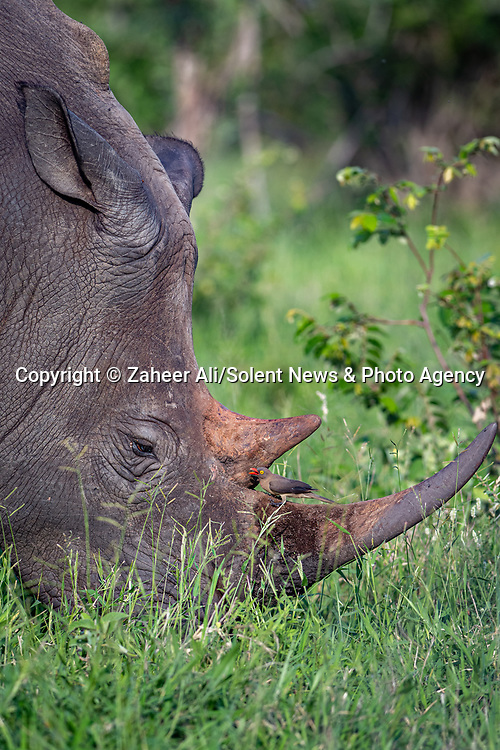 SEE OUR MAIN IMAGES:  A small oxpecker bird cuddles into the horn of a rhinoceros as it tries to sharpen its beak on the beast's horn.  These photos were shot in a private game reserve in South Africa as an oxpecker sharpened its beak on the horn of a white rhino while it grazed on grass.<br /> <br /> The bird looked like it was cuddling the rhino and having a nap in the crevice between the horn and its face.  SEE OUR COPY FOR DETAILS.<br /> <br /> Please byline: Zaheer Ali/Solent News<br /> <br /> © Zaheer Ali/Solent News & Photo Agency<br /> UK +44 (0) 2380 458800