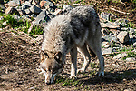 grey wolf grey color phase full body view facing left head down looking at camera