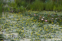 0723-1004  Ornamental Garden Pond with Full Bloom Water Lilies - Nymphaea  © David Kuhn/Dwight Kuhn Photography
