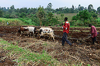 KENYA, County Bungoma, village Sikimbilo, farmer plow soil with cattle , behind sugar cane field / Bauern pfluegen mit Ochsen, um Ersosion zu vermeiden, muessen die Furchen laengs des Hangs gepfluegt werden