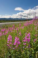 Fireweed along the Glenn Highway, southcentral, Alaska.