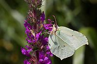 Zitronenfalter, Zitronen-Falter, Blütenbesuch an Blut-Weiderich, Gonepteryx rhamni, brimstone, brimstone butterfly, Le Citron