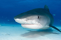 A Tiger shark (Galeocerdo cuvier) in the Bahamas, Caribbean, Atlantic