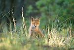 Red fox kit, Assateague National Wildlife Refuge, Virginia, USA