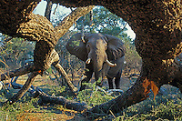 African elephant (Loxodonata africana) bull feeding on tree it has pushed over--will eat small limbs and leaves.  Mana Pools National Park, Zimbabwe.  I am photographing from under tree trunk.