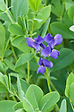 False or Blue indigo (Baptisia australis), end June.