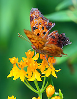 Eastern comma on butterfly weed. This example was battered, but the first of its kind in our garden.