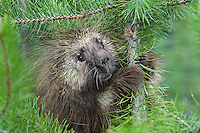 Porcupine in small lodgepole pine tree.  Northern Rockies.
