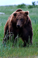 The Kodiak bear (Ursus arctos middendorffi), also known as the Kodiak brown bear or the Alaskan grizzly bear or American brown bear, occupies the coastal areas and islands of the Kodiak Archipelago in South-Western Alaska. It is the largest subspecies of brown bear. This big male spent much of his time just following a female from a distance. He went where ever she went, and just hung back. Halo Bay, Katmai National Park.
