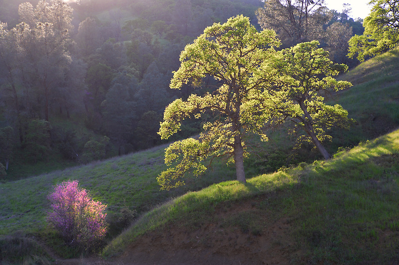Woodland with oak trees and red bud. Bear Valley. California