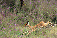 Young Impala jumping through wildflowers.  Tarangire National Park, Tanzania, Africa.  May.
