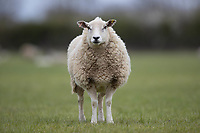 10-4-2021 Ewe<br /> ©Tim Scrivener Photographer 07850 303986<br />      ....Covering Agriculture In The UK....