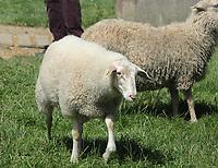 Schafe im Streichelzoo - Werdum 24.07.2020: Haustierpark Werdum