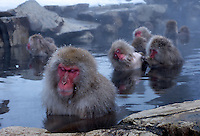 Torao, (foreground) the head of the 160 snow monkey troupe at Jigokudani (Hell Valley) in Nagano Prefecture, Japan. Japanese snow monkeys live in extreme conditions where winter temperatures can drop to -20 c, and they are unique in taking hot bath, known as an Onsen..28 Jan 2011