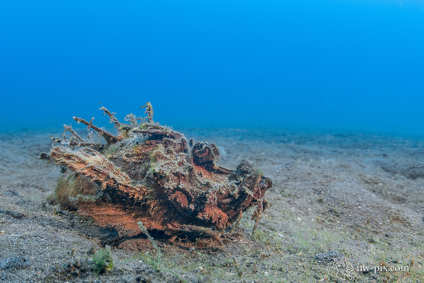 Devil scorpionfish (Inimicus) in the Lembeh Strait / Sulawesi / Indonesia