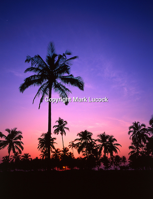Coconut palms silhouetted at sunset, Goa; India