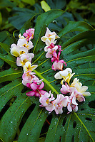 Pink and white plumeria lei hanging from a green leaf
