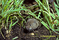 MU30-082z   Meadow Vole - adult - Microtus pennsylvanicus