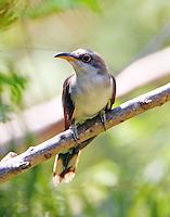 Juvenile yellow-billed cuckoo