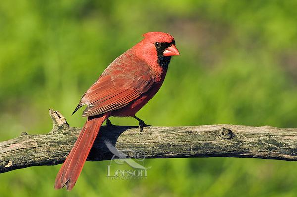 Northern Cardinal (Cardinalis cardinalis) male. Carolinian Forest near Point Pelee National Park. Spring. Lake Erie, Ontario. Canada.
