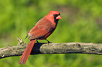 Northern Cardinal (Cardinalis cardinalis) male. Carolinian Forest near Point Pelee National Park. Spring. Lake Erie, Ontario. Canada.