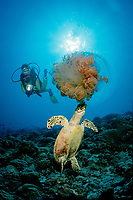scuba diver watches hawksbill sea turtle eat jellyfish, Eretsmochelys imbricata, Maldive Islands, Maldives (Indian Ocean)
