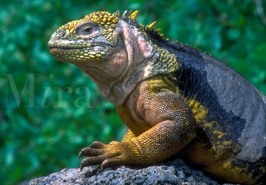 The Galapagos land iguana, Conolophus sp., close up, reptiles. The Galapagos land iguana, Conolophus sp. Galapagos Islands Ecuador Pacific Ocean, 650 miles west of S. Am.