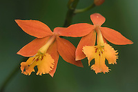 Fire Star Orchid, Epidendrum radicans, blooming, Central Valley, Costa Rica, Central America