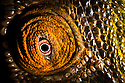 Eye of Parson's Chameleon {Calumma parsonii}. Madagascar