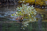 North American Beaver (Castor canadensis) towing tree branches back to lodge area for winter food supply.  British Columbia, Canada.  Fall.