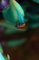 A Trigona fulviventris bee on a strongylodron macrobotrys orchid.///Trigona fulviventris sur une orchidée strongylodron macrobotrys.