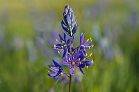 Common Camas (Camassia quamash) wildflower.  Pacific Northwest.  Spring.  Camas was a common and major plant food of Nowthwest Native American tribes.