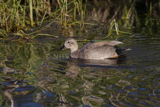a gadwall duck on a creek in western Montana