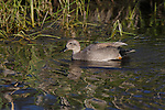 a gadwall duck on a creek in western Montana