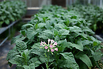 October 19, 2011. Raleigh, NC.. A flowering tobacco plant in an NC State greenhouse.. In a partnership with NC State University, 22nd Century Group Inc. is growing tobacco plants  that have modified levels of nicotine content. The end goal is to create a low nicotine tobacco to help people quit smoking..