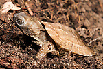 Wood turtle hatching emerging from nest in late spring.