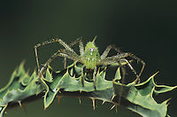 Green Lynx Spider (Peucetia viridans), adult, Starr County, Rio Grande Valley, Texas, USA