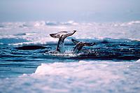 narwhals, fluking, Monodon monoceros, Northwest Territories, Canada ( Arctic Ocean )