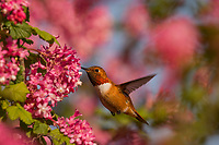 Male Rufous Hummingbird (Selasphorus rufus) nectaring on red-flowering currant blossoms.  Western Washington.  April.