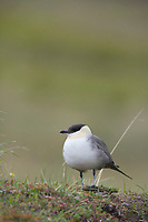 Long-tailed Jaeger sits on the flower-covered springtime tundra in Denali National Park, Alaska